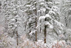 Pine trees covered in snow Stock Photos
