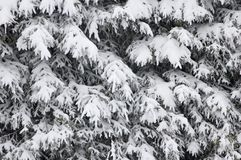 Pine-trees covered with snow. Royalty Free Stock Photography