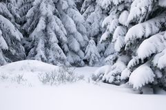 Pine trees covered with snow. Stock Photos