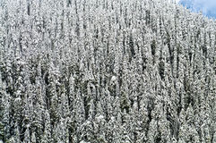 Pine trees Covered in Snow Stock Image