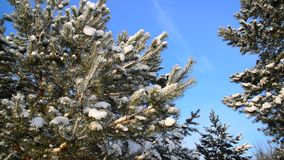 Pine trees covered with snow against blue sky. Pine trees covered with snow against the blue sky stock video footage