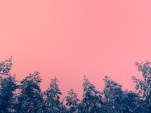 Pine trees covered with snow against pink sky Stock Image