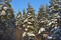 Pine trees covered with snow Royalty Free Stock Photo