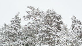 Pine trees covered with snow. Pine forest in the winter stock footage