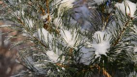 Pine trees covered with snow and frost. Sprig of a pine trees covered with snow and frost stock video