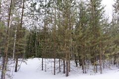Pine trees covered with snow on frosty evening. Beautiful winter panorama at snowfall . stock image
