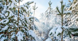 Pine trees covered with snow panorama. Young pine trees covered with snow in sunny day Stock Photography