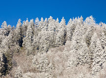 Pine trees covered in snow on skyline Stock Photo