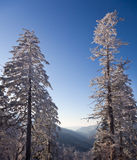 Pine trees covered in snow on skyline Stock Image