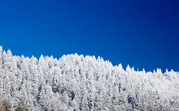 Pine trees covered in snow on skyline Stock Photography