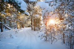 Pine trees covered with snow royalty free stock photography