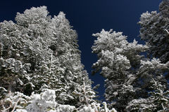 Pine trees covered with snow after a storm stock photography