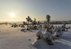 Pine trees covered with snow sunset. Stock Images