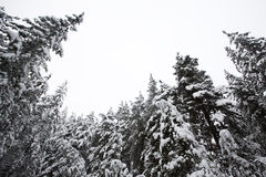 Pine trees covered by snow viewed from below Stock Photos