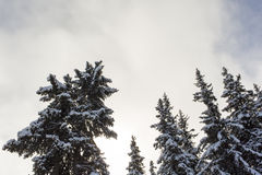 Pine trees covered by snow Royalty Free Stock Image