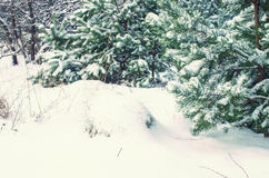 Pine trees. Covered with snow in the winter Royalty Free Stock Photos