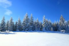 Pine trees covered with snow Royalty Free Stock Images