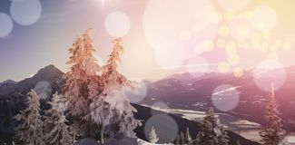 Pine trees covered with snow during winter. And snowcapped mountain in background Royalty Free Stock Images