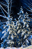 Pine trees covered with snow in the woods. On a dark night Royalty Free Stock Photography