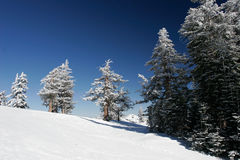 Free Pine Trees Covered With Snow After A Storm Royalty Free Stock Photos - 1810428