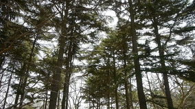 Pine trees crown sway in wind. Gh2_01582 stock footage