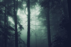Pine trees in a dark forest with strange fog Royalty Free Stock Photography