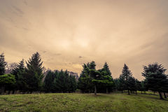 Pine trees at dawn in autumn Stock Images