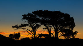 Pine Trees Dawnlight Stock Photo