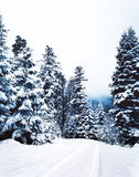 Pine Trees at Daytime during Winter Stock Photo