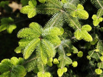Pine trees detail. Pine trees on summer time in forest Stock Image