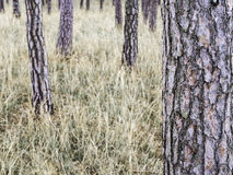 Pine trees, dry grass, minimalistic forest scenery. Pine trees, dry grass, minimalistic autumn fall forest nature scenery, usable as background Royalty Free Stock Image