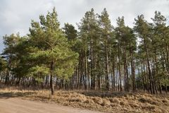Pine trees on the dunes. Royalty Free Stock Image