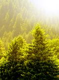 Pine Trees and Early Summer Light. View of forrest of green pine trees on mountainside with warm glowing sunlight Royalty Free Stock Photo