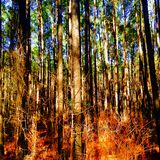 Pine trees of east Texas Stock Photography