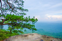 Pine trees edge of a cliff Stock Images