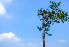 Pine trees edge of a cliff Royalty Free Stock Photography