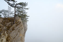 Pine trees on the edge of a rocky cliff in the fog Royalty Free Stock Image