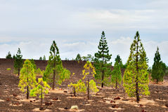 Pine Trees On The Edge Of Teide National Park Royalty Free Stock Image