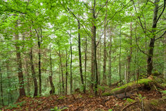 Pine trees and ferns growing in deep highland forest. Carpathian Royalty Free Stock Image
