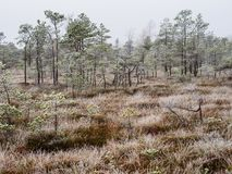 Pine Trees in Field of Kemeri moor in Latvia royalty free stock photography
