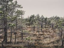 Pine Trees in Field of Kemeri moor in Latvia - Vintage look edit. Pine Trees in Field of Kemeri moor in Latvia on a Cold Winter Morning with some Frost on them royalty free stock photo