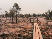 Pine Trees in Field of Kemeri moor in Latvia With a Footbridge B. Etween them on a Cold Winter Morning with some Frost on them - vintage look edit royalty free stock photo