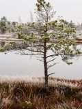 Pine Trees in Field of Kemeri moor in Latvia with a Pond in a Ba. Ckground on a Cold Winter Morning with some Frost on them royalty free stock photos