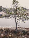 Pine Trees in Field of Kemeri moor in Latvia with a Pond in a Ba. Ckground on a Cold Winter Morning with some Frost on them - vintage look edit stock image