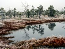 Pine Trees in Field of Kemeri moor in Latvia with a Pond in a Fo. Reground on a Cold Winter Morning with some Frost on them Stock Photos