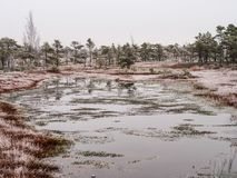 Pine Trees in Field of Kemeri moor in Latvia with a Pond in a Fo. Reground on a Cold Winter Morning with some Frost on them Royalty Free Stock Photography