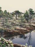 Pine Trees in Field of Kemeri moor in Latvia with a Pond in a Fo. Reground on a Cold Winter Morning with some Frost on them - vintage look edit royalty free stock photos