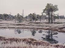 Pine Trees in Field of Kemeri moor in Latvia with a Pond in a Fo. Reground on a Cold Winter Morning with some Frost on them - vintage look edit royalty free stock photography