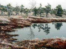 Pine Trees in Field of Kemeri moor in Latvia with a Pond in a Fo. Reground on a Cold Winter Morning with some Frost on them Stock Photo