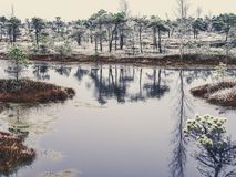 Pine Trees in Field of Kemeri moor in Latvia with a Pond in a Fo. Reground on a Cold Winter Morning with some Frost on them - vintage look edit royalty free stock photo